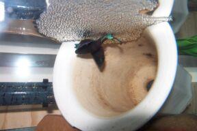 Betta Splendens Siam S Best Bettas Siamese Fighting Fish